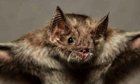murciélago coronavirus