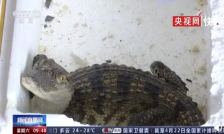 cocodrilo siamés