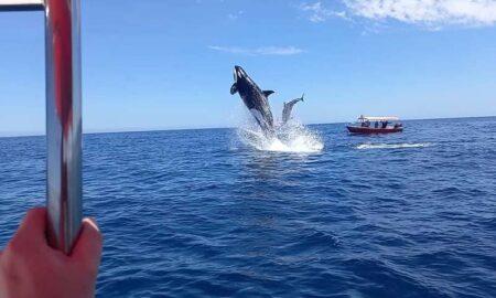 orca vs delfín